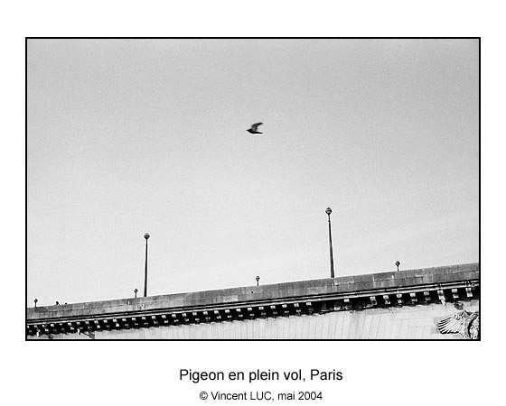 Galerie Photo : Tete en l'air : pigeon en plein vol, Paris, Photo noir et blanc © Vincent LUC